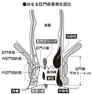 肛門の特徴|家庭の医学|時事メディカル|時事通信の医療ニュースサイト